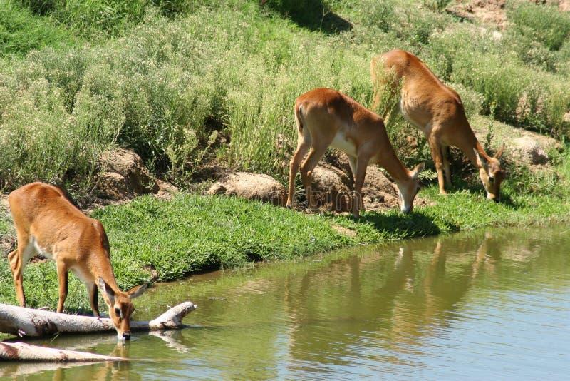 Отверстие газеля животное