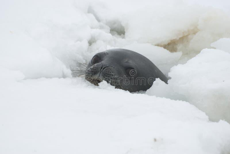 отверстие герметизирует Weddell Стоковые Фото