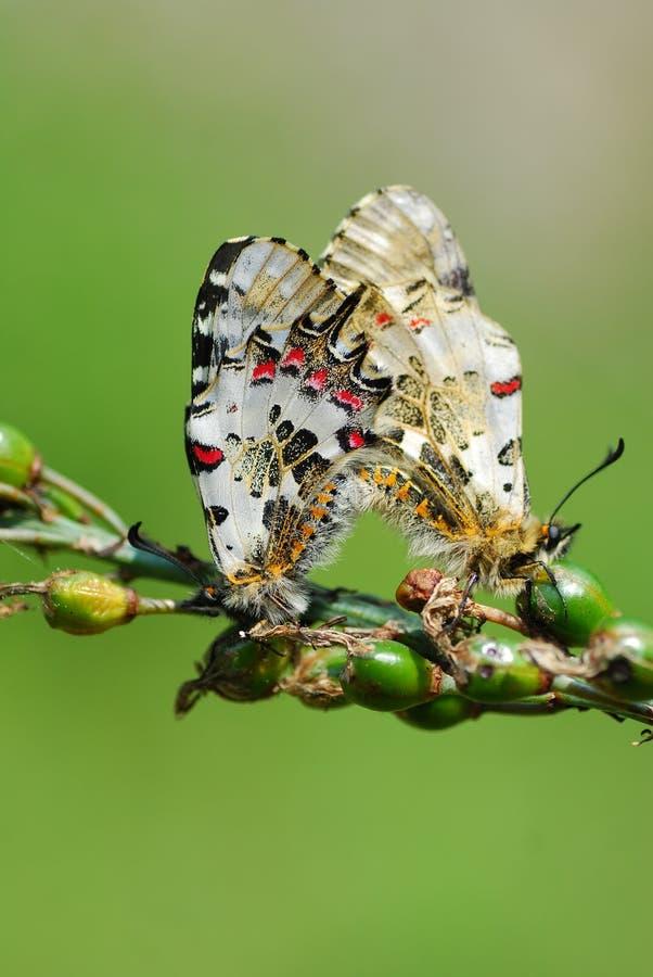 ответная часть бабочки бабочек стоковые фотографии rf