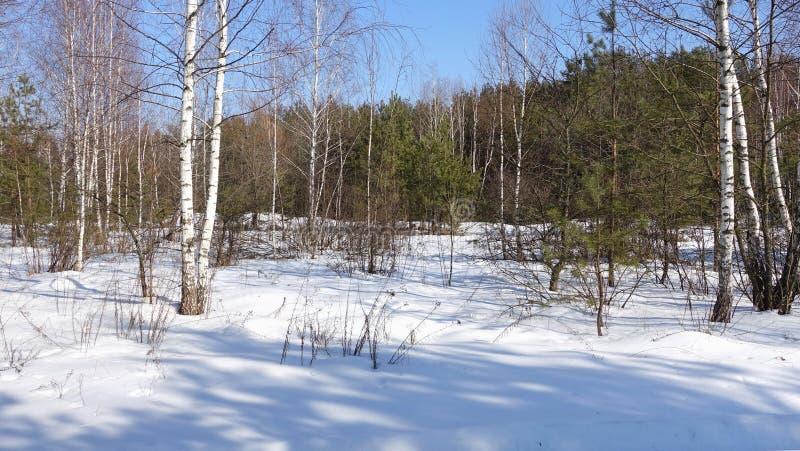 Отдельно стоя березы на фоне соснового леса стоковое изображение
