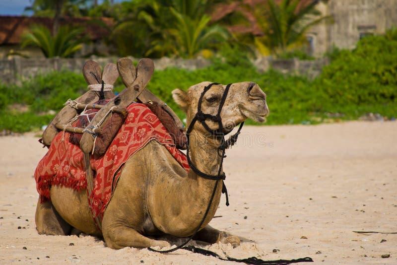 отдыхать верблюда стоковое фото