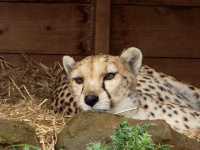 отдыхать гепарда стоковые фотографии rf