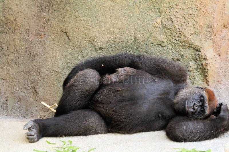 отдыхать гориллы стоковая фотография rf