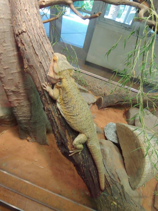 Отдыхая бородатый дракон стоковая фотография rf