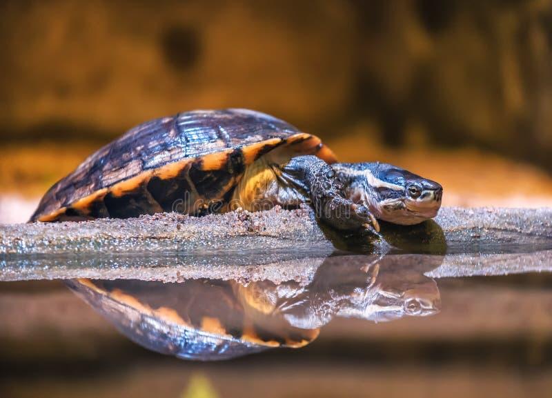 Отдыхая водяная черепаха черепахи воды стоковые изображения