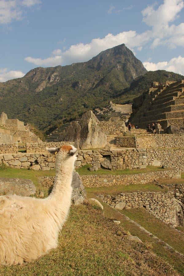 Отдыхая лама на ruines стоковая фотография rf