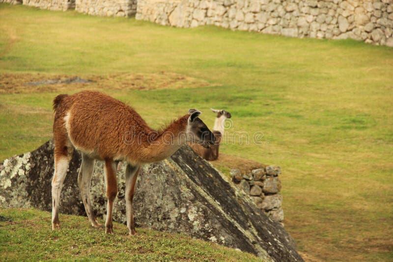 Отдыхая лама на ruines стоковые фотографии rf