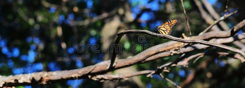 Отдыхая монарх стоковая фотография