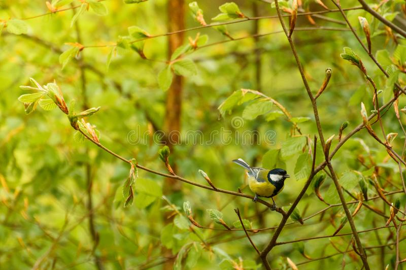 Отдыхая птица, мужчина titmouse садить на насест на молодых ветвях дерева стоковые фото