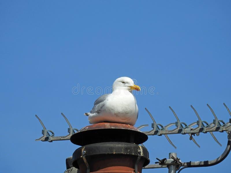 Отдыхая птица чайки на птицах крыши камина городских стоковая фотография rf