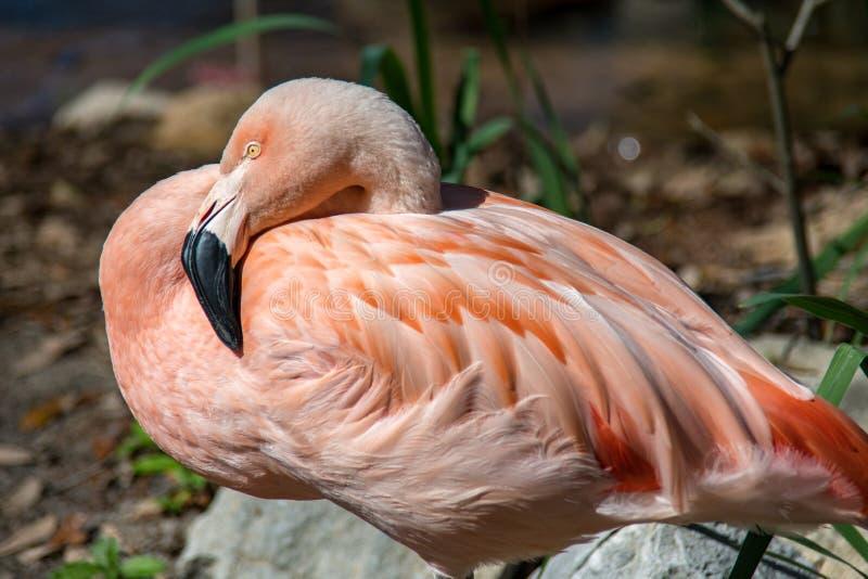 Отдыхая розовый фламинго стоковое изображение