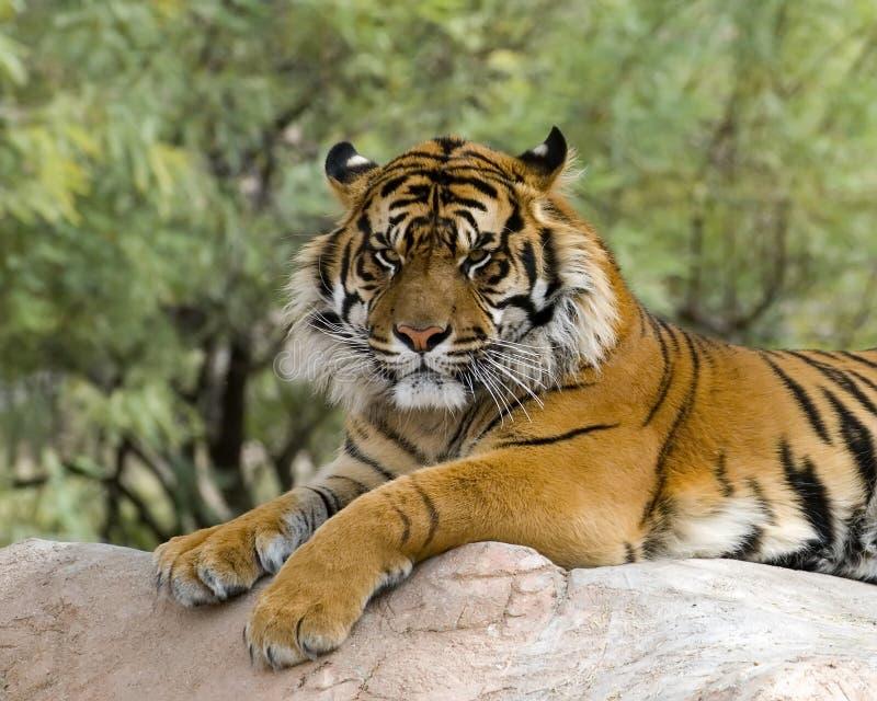 отдыхая тигр стоковые фото