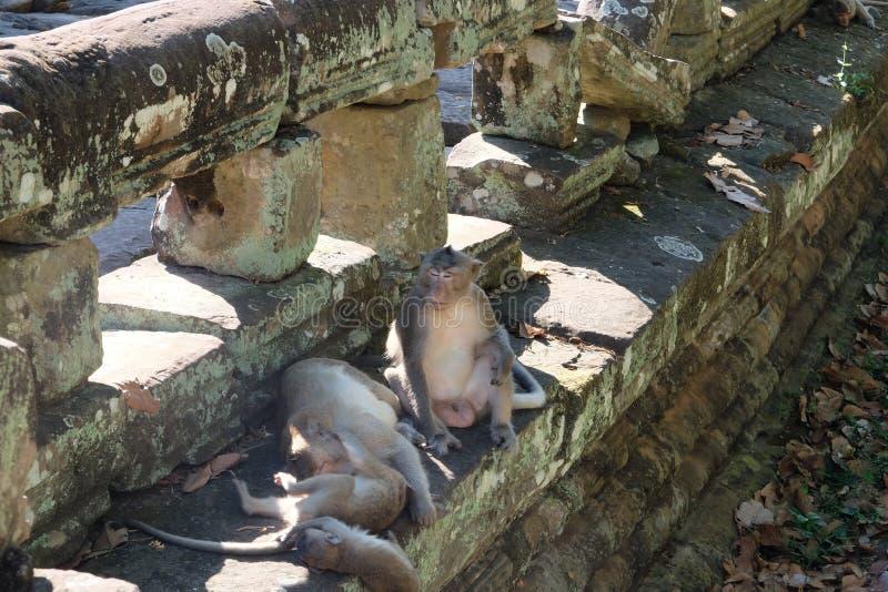 Отец позаботится о дети пока мать отдыхает Семья обезьян около старых руин Фауна  стоковое изображение