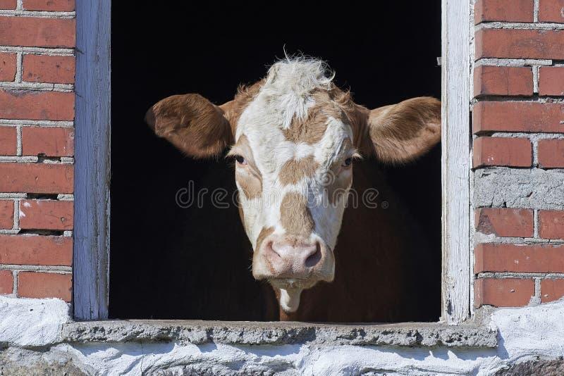 Отечественная корова смотря вне окно стоковое фото rf