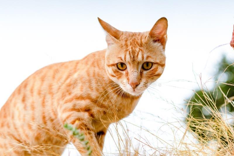 Отечественная оранжевая природа кота любимца Tabby стоковая фотография