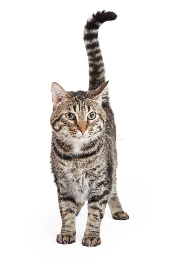 Отечественное положение кота Tabby Shorthair стоковые фото