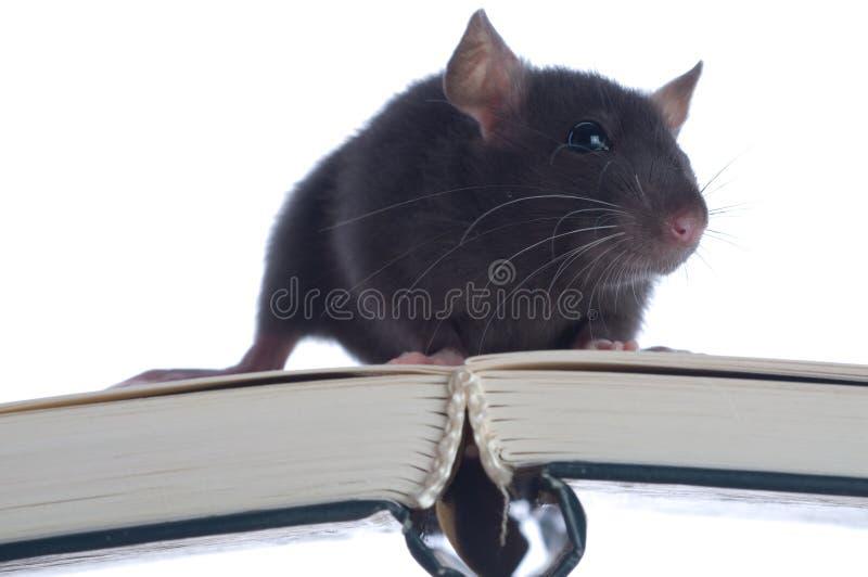 отечественное усаживание крысы стоковое фото rf