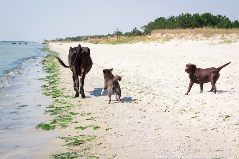 Отечественные дикие собаки бежать на пляже моря гоня корову стоковое изображение