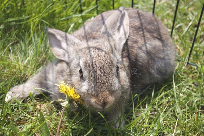 отечественные кролики молодые стоковое изображение