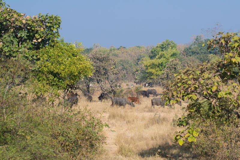 Отечественные скотины в лесе стоковая фотография