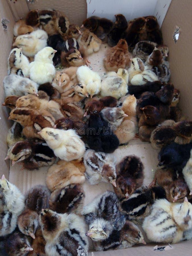 Отечественные цыплята стоковое изображение