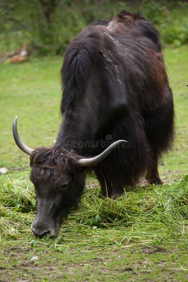 Download Отечественные Grunniens быка яков Стоковое Изображение - изображение насчитывающей mammal, природа: 81810433