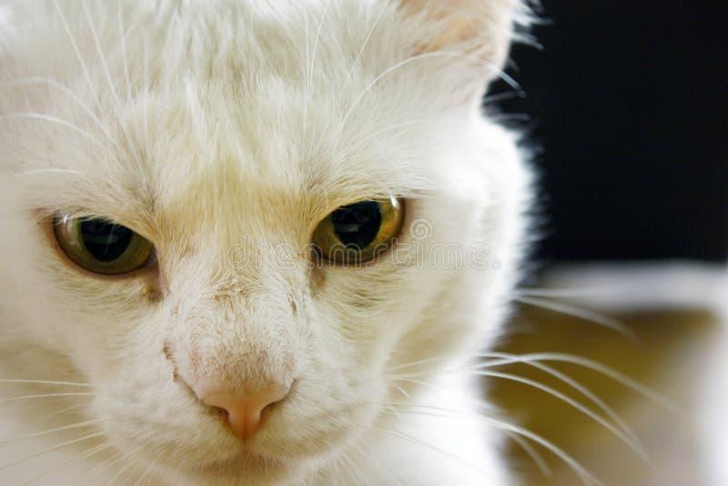 Отечественный белый кот альбиноса с желтыми глазами Глаза кота закрывают Белые шерсти Большой план на темной предпосылке стоковые фото