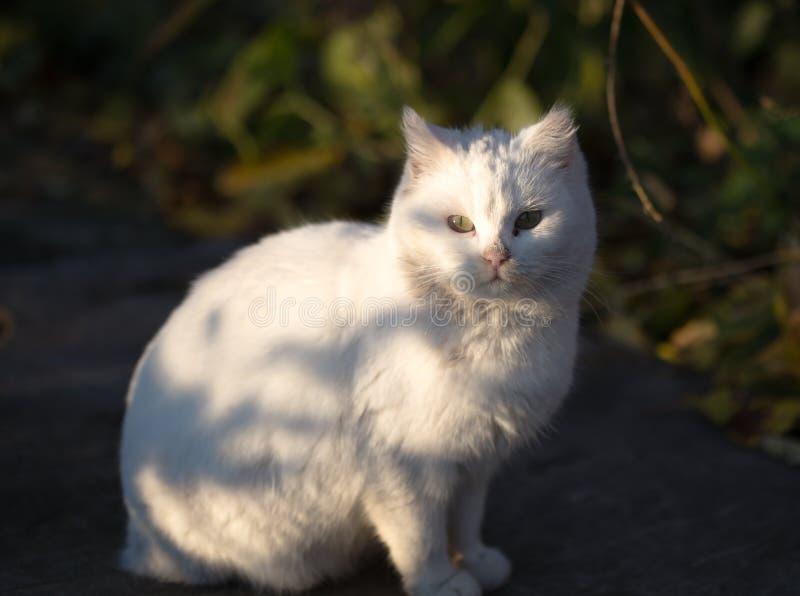 Отечественный белый кот на траве Кот намордника с желтым цветом наблюдает портрет стоковое фото