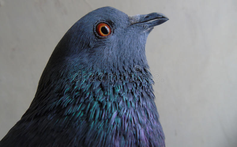 Отечественный голубь стоковое изображение