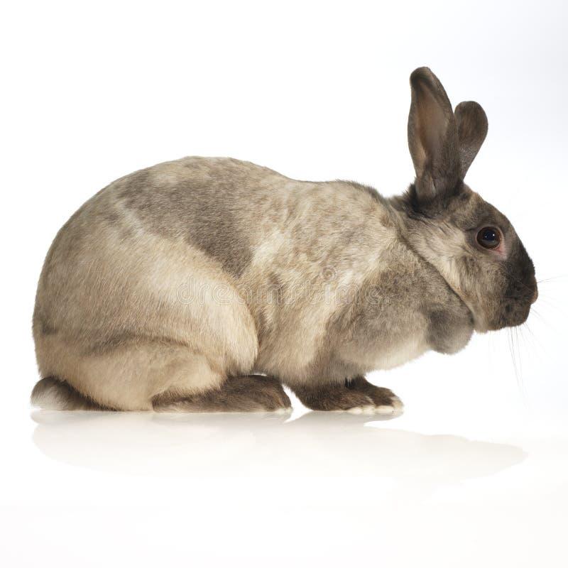отечественный кролик стоковое изображение