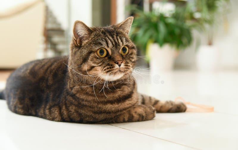 Отечественный портрет кота tabby стоковая фотография rf