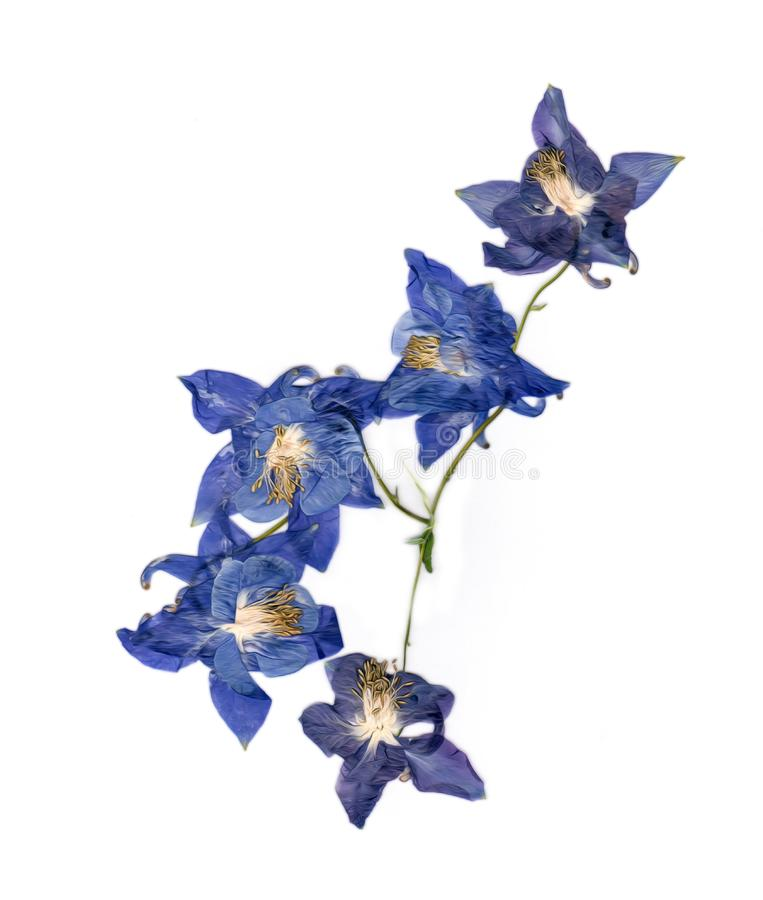 Отжатое multicolor Aquilegia с прессованными высушенными лепестками лилии, p