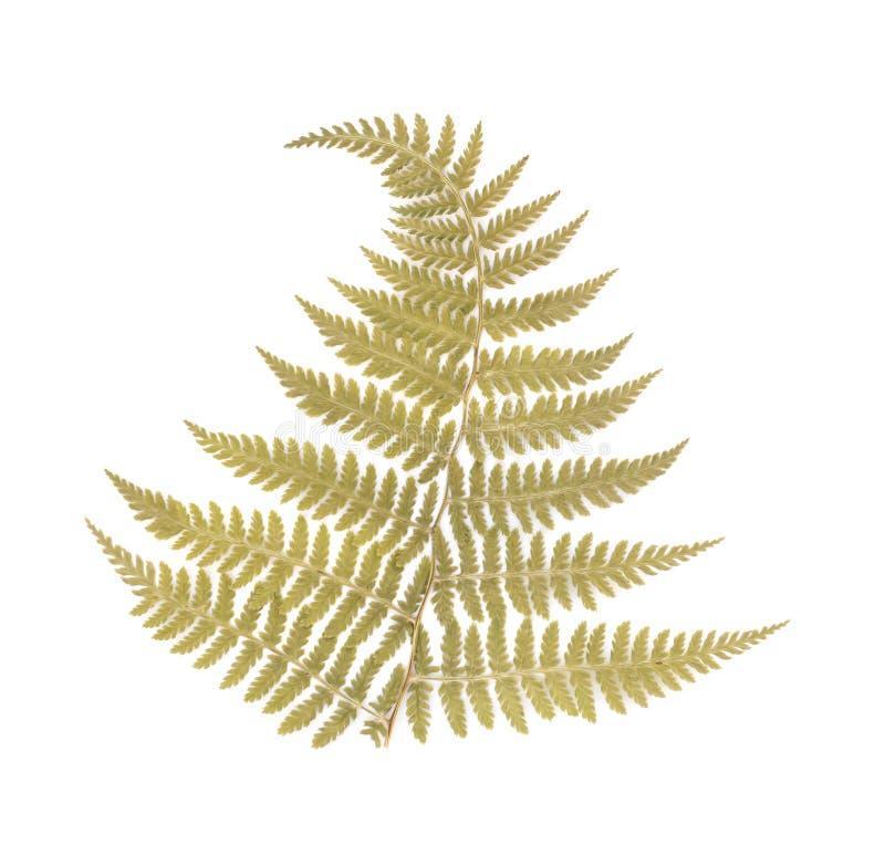 Отжатые высушенные лист папоротника стоковые фото