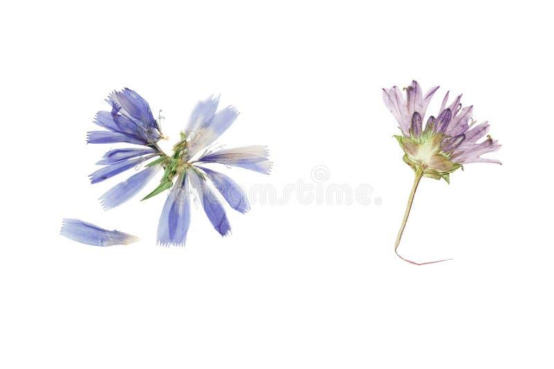 Отжатые и высушенные цветки цикорий или cichorium стоковые изображения rf
