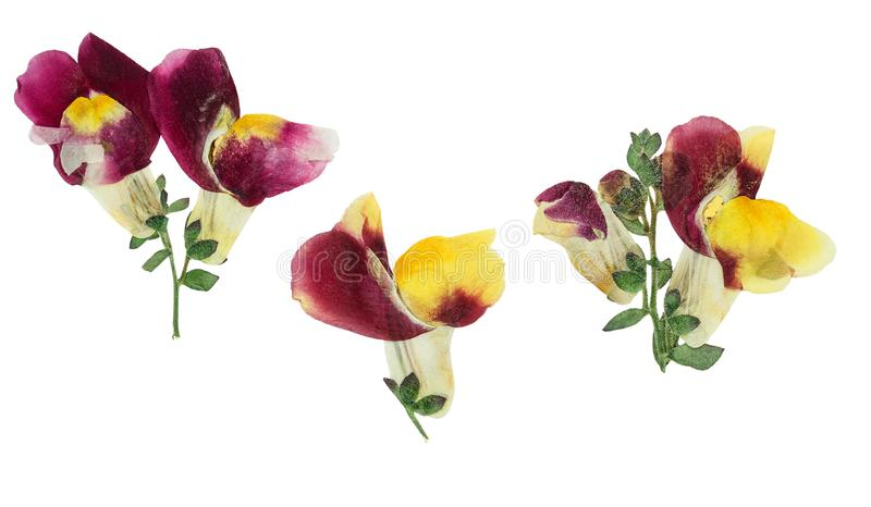 Отжатые и высушенные snapdragons или antirrhinum цветка, изолированные дальше стоковое фото