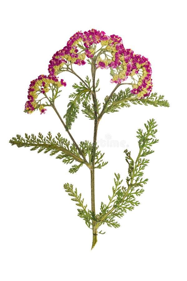 Отжатый и высушенный тысячелистник обыкновенный цветка изолировано стоковое изображение rf