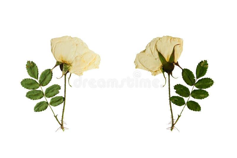 Отжатый и высушенный цветок на черенок одичалом поднял Изолировано на белизне стоковые фото