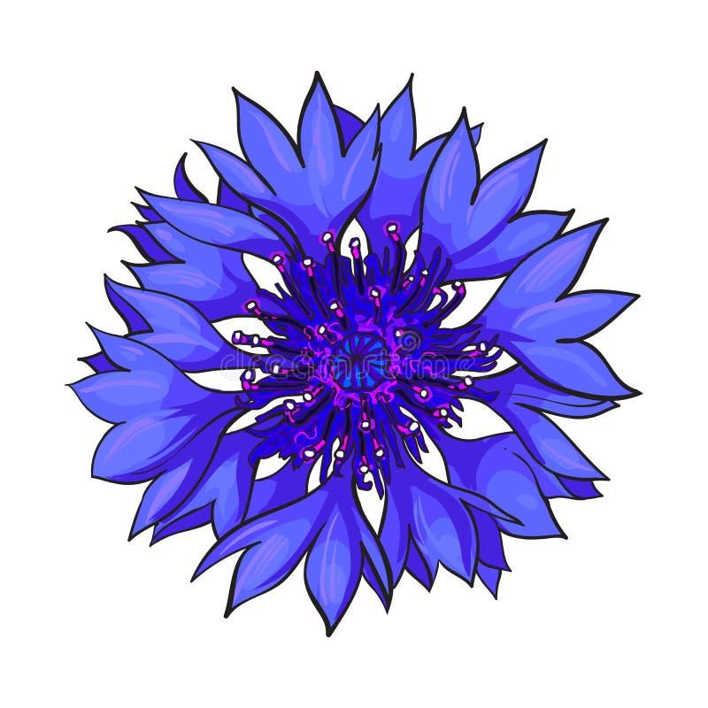 Открытое цветение cornflower, взгляд сверху, иллюстрация вектора стиля эскиза иллюстрация вектора