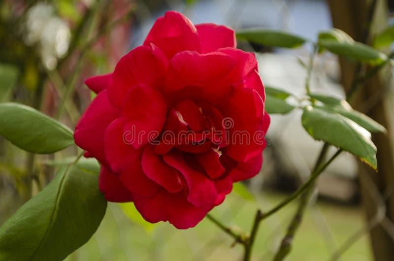 Открытый красный гибридный чай поднял цветене стоковые фото