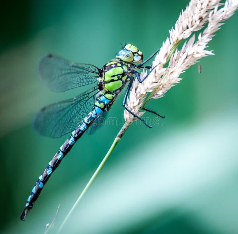 лоточница dragonfly южная стоковое фото rf