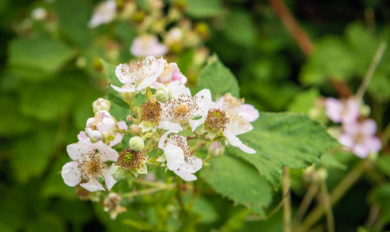 Отпочковываться и бледнеет - розовые blossoming цветки ежевики и все еще ООН стоковое фото rf