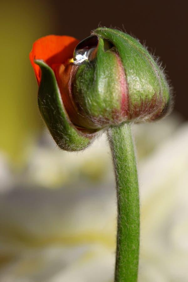 отпочковываться одно waterdroplet ranunculus стоковые изображения rf