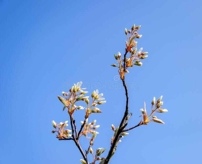 Отпочковываясь и blossoming снежный mespilus от конца стоковое фото
