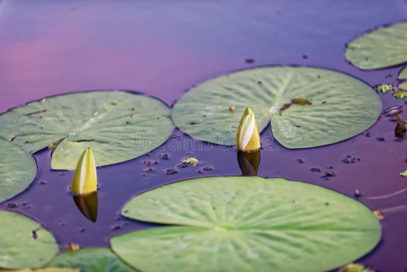 Отпочковываясь лилии воды на перепаде Дунай стоковые фотографии rf
