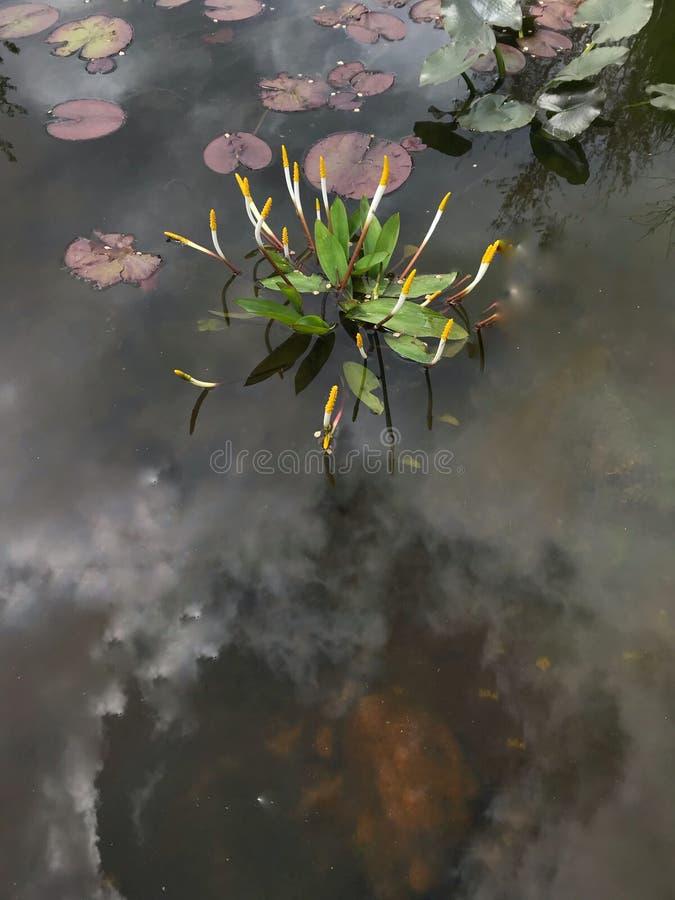 Отпочковываясь лилии воды стоковое изображение rf