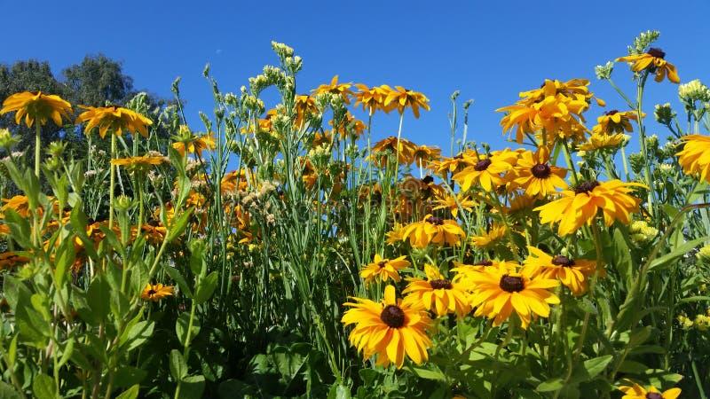 Отпочковываясь мексиканский солнцецвет и чистое голубое небо стоковая фотография rf