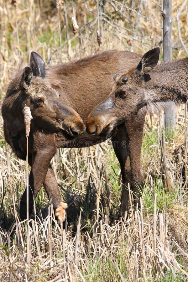 Отпрыски Bull лосей и корова стоковые изображения rf