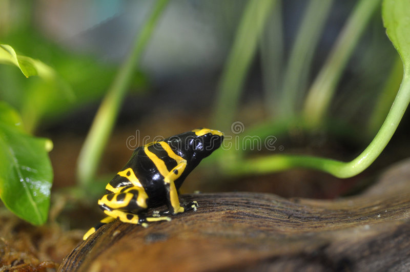 отрава лягушки дротика стоковая фотография rf
