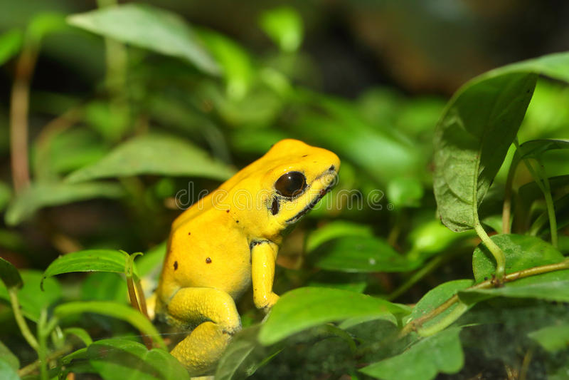 отрава лягушки золотистая стоковое изображение