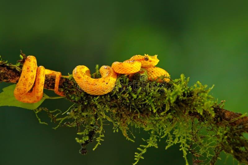 Отравите ладонь Pitviper ресницы, schlegeli Bothriechis, на зеленой ветви мха Ядовитая змейка в среду обитания природы Ядовитое а стоковая фотография